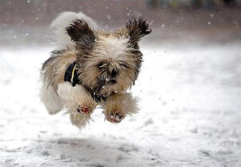 Ever wonder how dogs can walk barefoot in the snow?