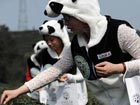 Panda faeces used for world's most expensive tea