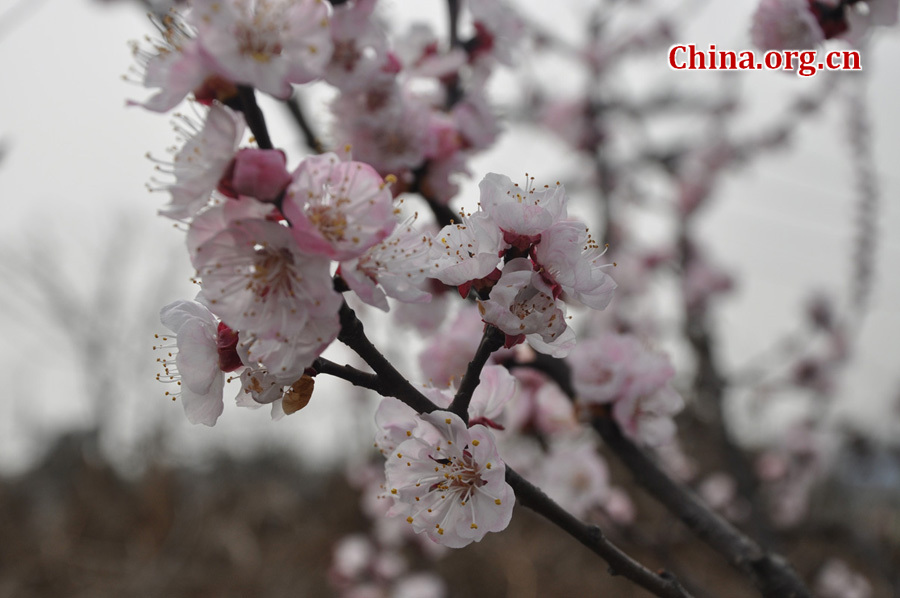 Apricot flowers in full blossom are seen at Xinghua Village in Qingbaijiang District , Chengdu, capital city of Southwest China's Sichuan province, in Mar. 16, 2012. Every year, from March to May, over 1000 acres apricot plants blossom, attracting visitors all over the country to enjoy the blossom. [China.org.cn/ by Chen Xiangzhao]