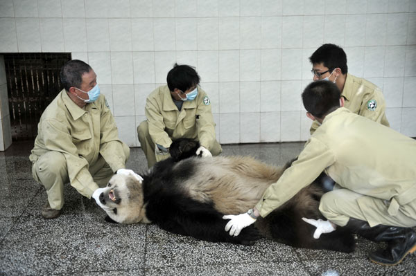 Blood is collected from a panda at Fuzhou Panda World in Fuzhou, capital city of East China's Fujian province, on March 23, 2012.