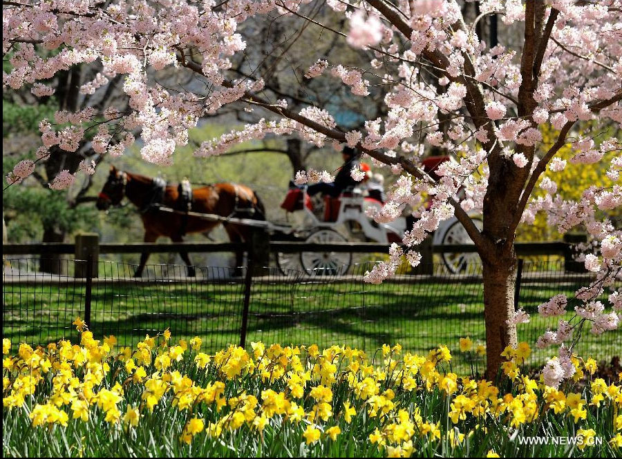 A tour coach runs past a cherry tree in Central Park in New York, the United States, March 27, 2012. Varieties of spring flowers flourish as the northern hemisphere have entered its springtime since March. (Xinhua/Shen Hong)