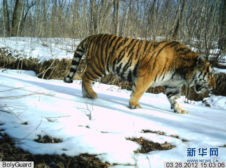 Young Siberian tigers, a male is captured in these photographs taken by infrared cameras last Sunday at Hunchun Nature Reserve in northeast China's Jilin Province.