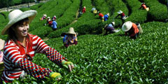 Chinese tea faces export challenges