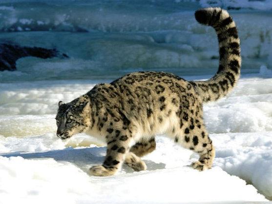 Tibetan snow leopard.