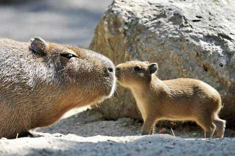 Baby capybara [file photo]