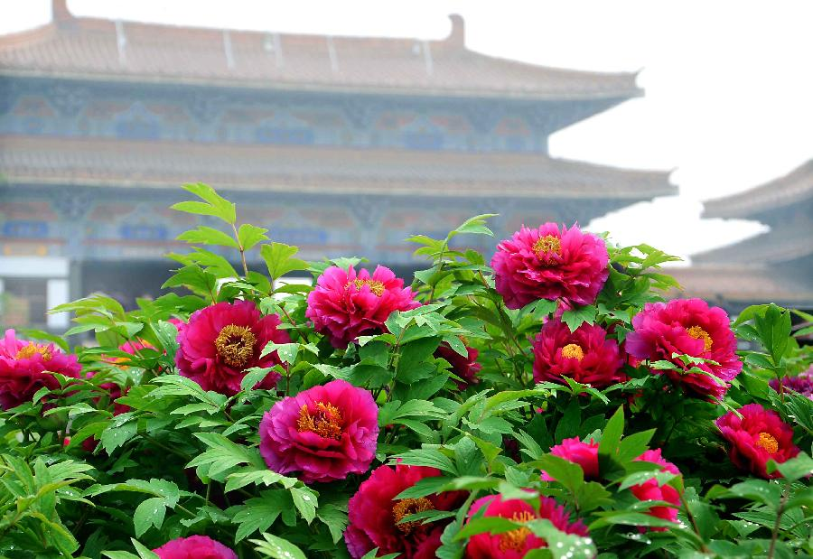 Peonies are seen in full blossom near an ancient building at a garden in Luoyang, capital of central China's Henan Province, April 10, 2012. Peonies of over 1,200 categories will gradually reach the flowering stage this month in Luoyang, a city famous for the peonies. (Xinhua/Wang Song)