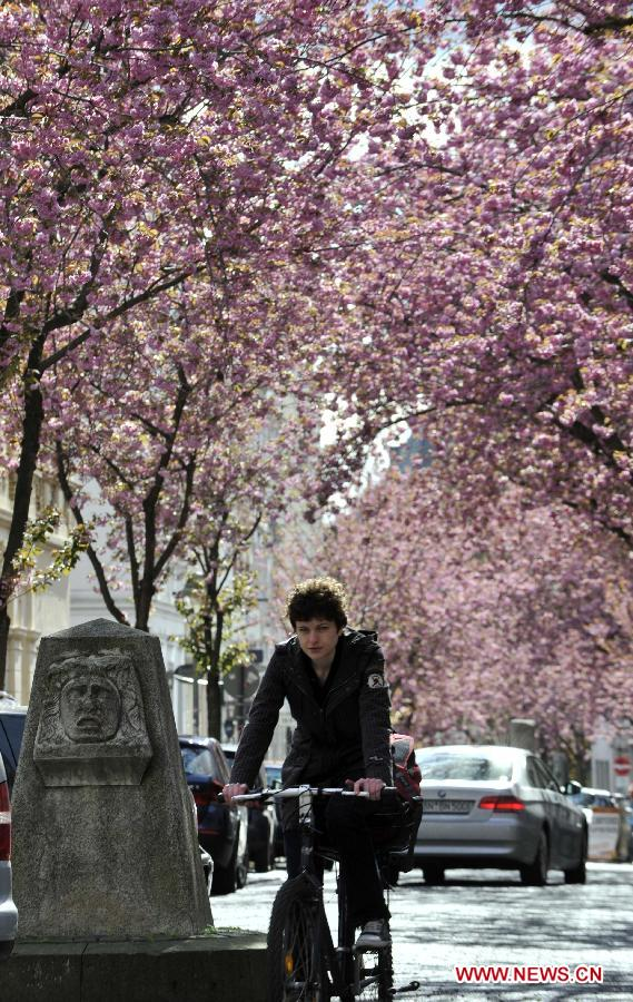 A man rides a bike under the cherry blossom trees in Bonn, Germany, April 11, 2012. Cherry blossoms began to bloom in Germany as the temperature keeps climbing up. (Xinhua/Ma Ning)