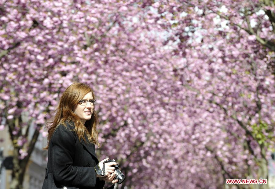 A woman takes photos of the cherry blossoms in Bonn, Germany, April 11, 2012. Cherry blossoms began to bloom in Germany as the temperature keeps climbing up. (Xinhua/Ma Ning)