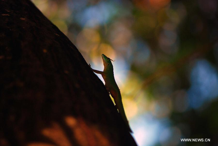 Photo taken on April 4, 2012 shows one green gecko (phelsuma), which are found only on a few islands, looking for food in the jungle on the Praslin island of Seychelles.