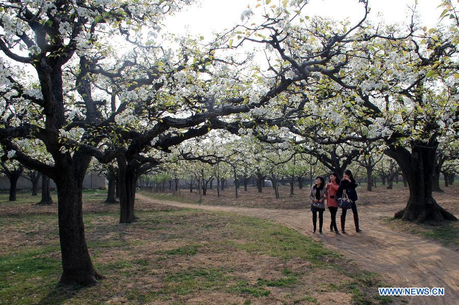 Tourists enjoy the scene at a pear orchard in Dangshan County, east China's Anhui Province, April 10, 2012. As the pear tree flowers are in full blossom in spring, local government organized many cultural and traditional activities in local pear orchards recently, which attracted many tourists. (Xinhua/Cui Meng)