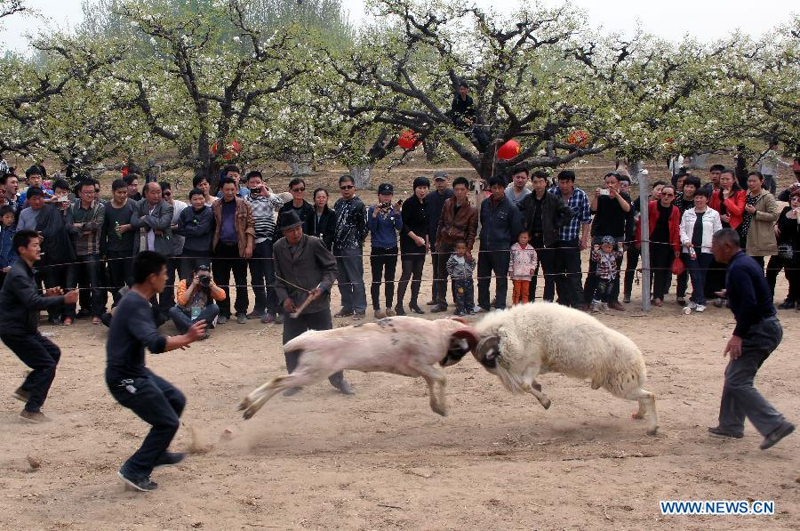 Tourists are attracted to a sheep fighting game at a pear orchard in Dangshan County, east China's Anhui Province, April 10, 2012. As the pear tree flowers are in full blossom in spring, local government organized many cultural and traditional activities in local pear orchards recently, which attracted many tourists. (Xinhua/Cui Meng) 
