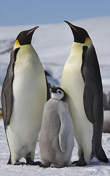 More emperor penguins in Antarctica than previously thought