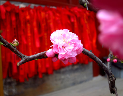 Flower blossoms on a backdrop of prayer ribbons. Photo taken by William Wang for CRI, April 2012.