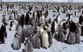 Emperor penguin colony [British Antarctic Survey]