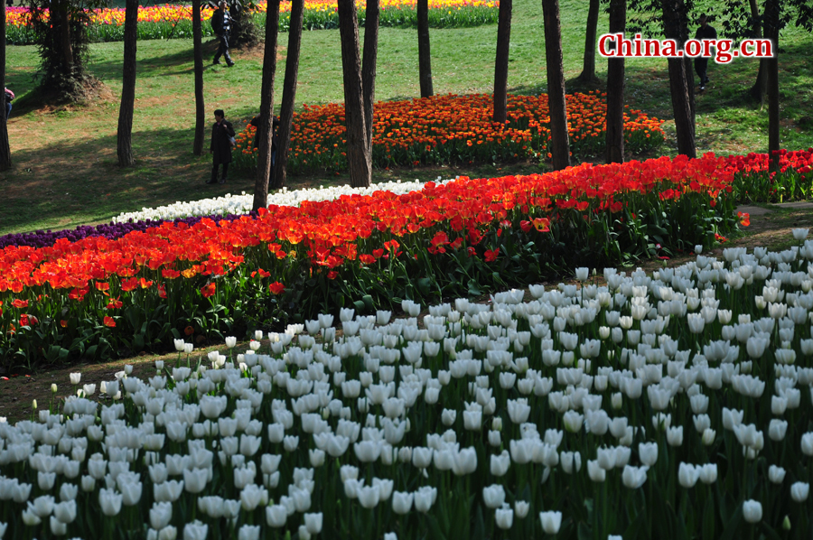 Blooming tulips are seen in Shixianghu Ecological Scenic Resort, Pujiang County in southwest China's Sichuan Province April 2, 2012. [China.org.cn/by Chen Xiangzhao]