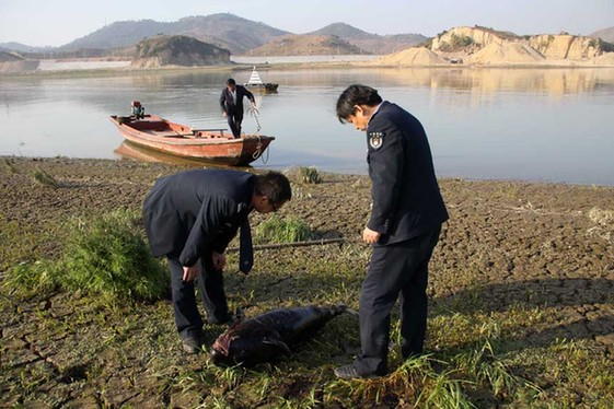 Yangtze cowfish, an endangered subspecies of the finless porpoise in the Yangtze River, is found dead alongside the bank of the Dongting Lake, northeastern Hunan province, China.