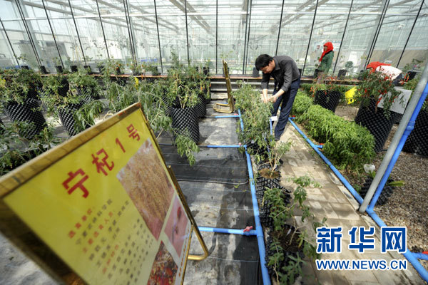 Potted chinese wolfberry fruits in ningxia