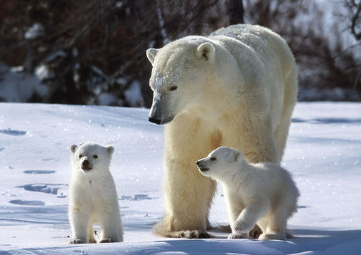 Polar bears. [File photo]