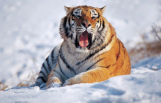 Siberian tigers. [hudong.com]