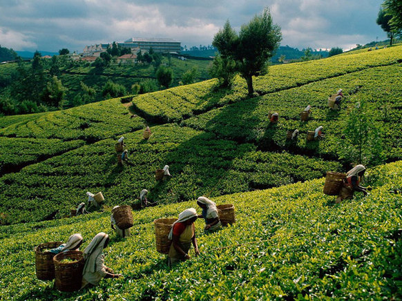 More and more luxury tea products are seen in the market. [File photo]