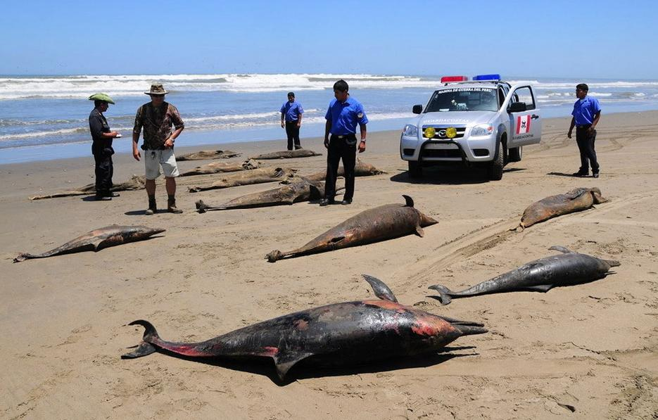 More than 800 dolphins have been washed up on the northern coast of Peru this year. The dolphins may have died from an outbreak of Morbillivirus or Brucella bacteria, according to Peruvian environment authorities.