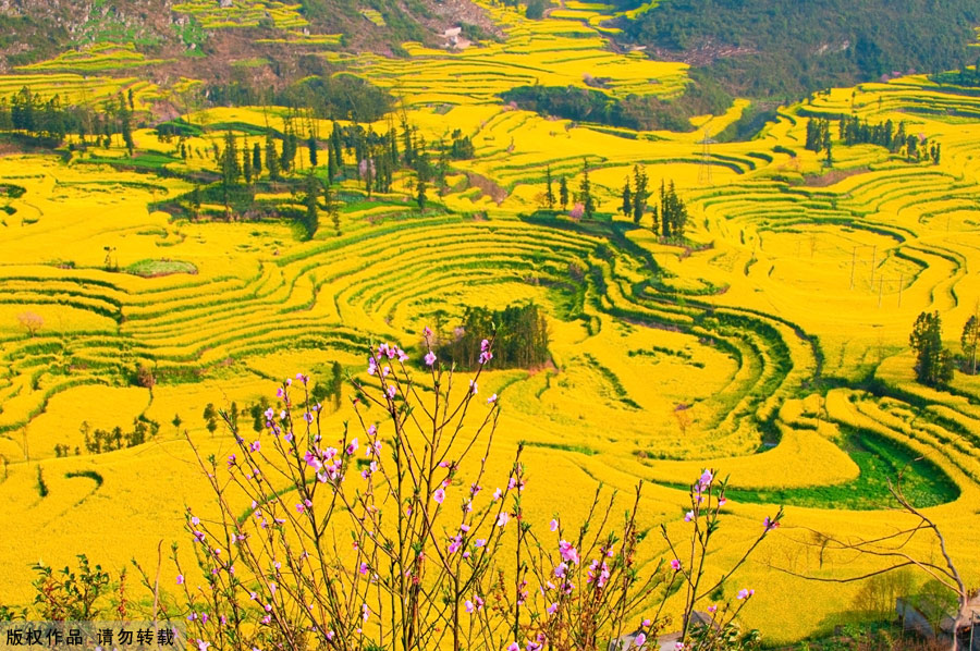 The small county of Luoping lies in the relatively underdeveloped eastern part of the Yunnan Province, neighboring Guizhou and Guangxi provinces. It sits 220 kilometers east of the capital Kunming. Every spring, the entire county will transform into an ocean of canola flowers, attracting thousands of travelers and photographers to enjoy the spectacle.