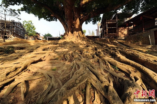 A hundred year old banyan tree in the Bamei Village. (CNS Photo/Ren Dong)