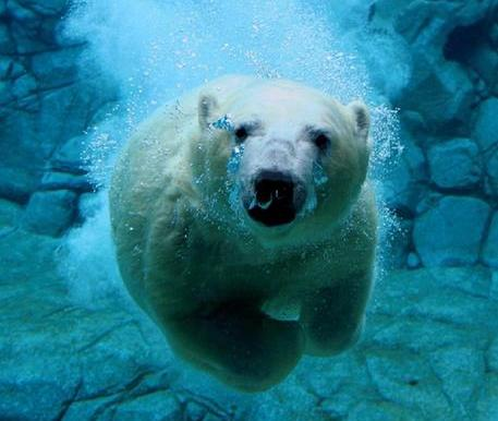 Polar bears are capable of swimming vast distances, a potential survival skill needed in an Arctic environment where summer sea ice is vanishing. [File photo]