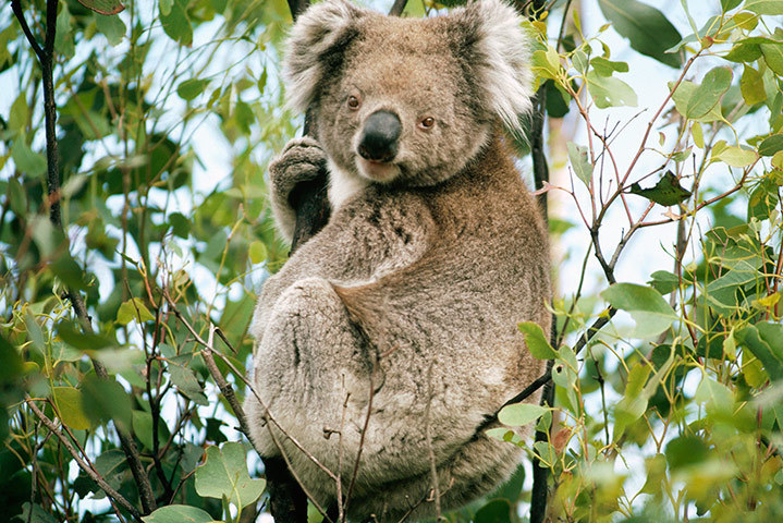 Koalas in Ipswich and the Somerset Region are among the most vulnerable in Australia. They are under serious threat from climate change, habitat loss, vehicle strikes and dog attacks as a result of urban expansion. [sina.com]