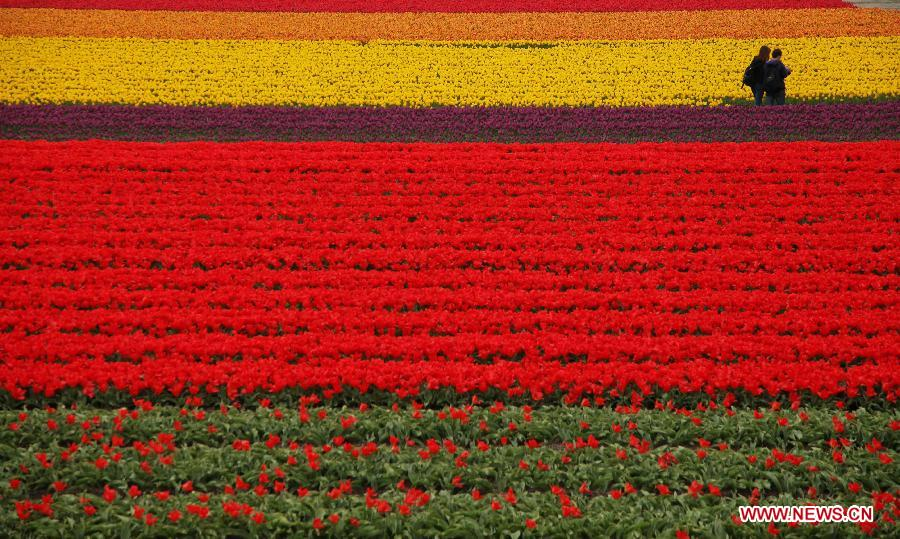 Tourists stroll in the tulipland in Keukenhof, Lisse, the Netherlands, April 29, 2012. Keukenhof is the international showcase of Dutch horticulture with an emphasis on bulb flowers. (Xinhua/Yan Ting) 