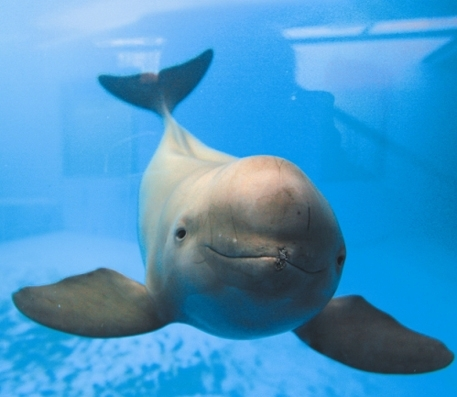 Finless porpoises. [File photo]