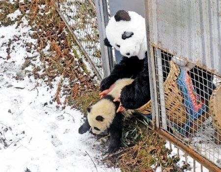 Tao Tao was put into his new home in wild by a researches dressed like a panda in Feburary, 2011. [File photo]