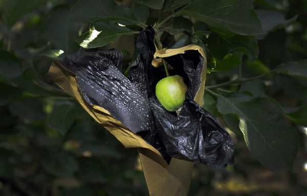 An apple is wrapped in a bag to protect it from damage at an orchard in Zhaoyuan county of Yantai, a major apple production area, in East China's Shandong province, on May 29. [ Photo / China Daily ]