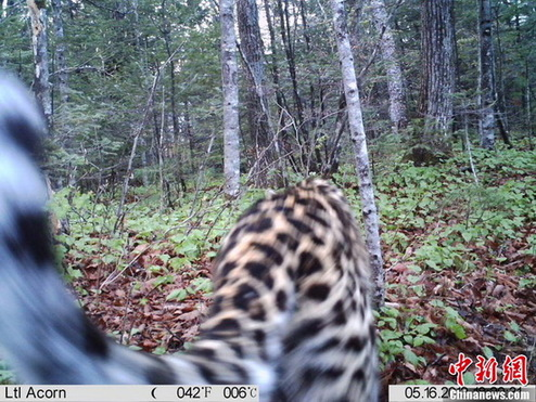 The photo taken on May 16, 2012, captured by Camera No.1, shows an Amur leopard roaming in the forest in Wangqing County of northeast China's Jilin province. [CNS photo/ provided by Jilin Forestry Department]