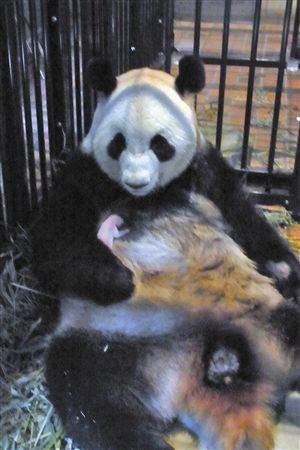 The mother panda Shin Shin held her new born baby in Japan's Ueno Zoo on July 6, 2012. [Xinhua]