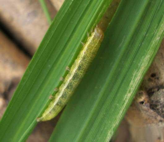 Large numbers of army worms have been invading much of Jilin province and Hebei province in the country's north from the beginning of August.