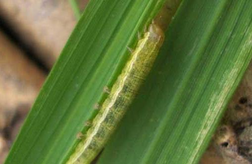 Armyworm damages crops in China