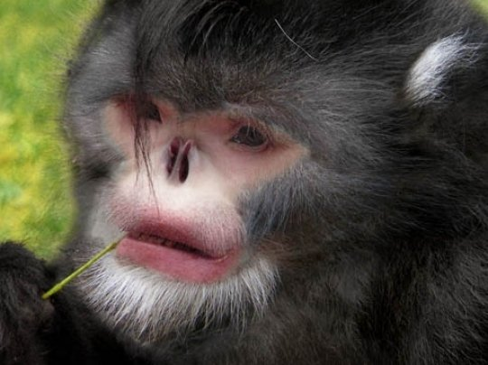 Myanmar snub-nosed monkey, one of the 'top 10 weirdest new species' by China.org.cn.