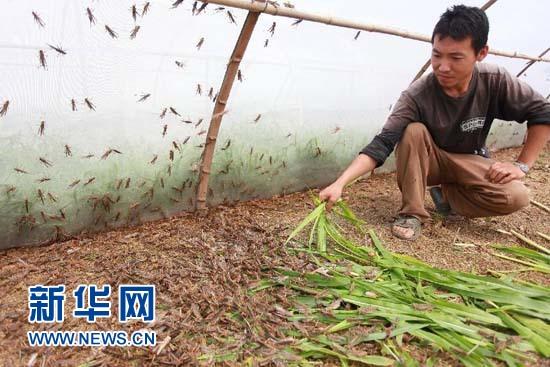 Farmer gets rich from grasshoppers breeding