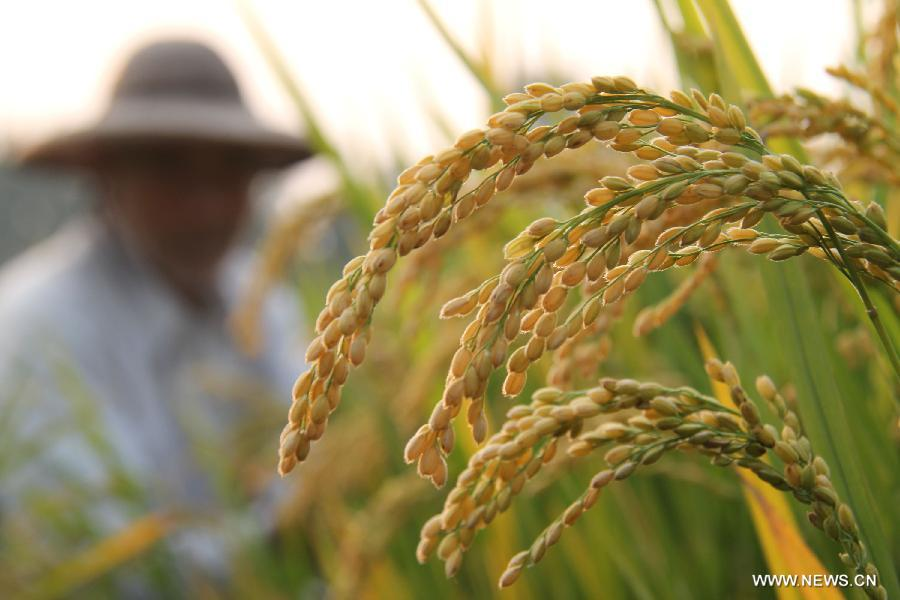 Rice Harvest In Shandong China Org Cn