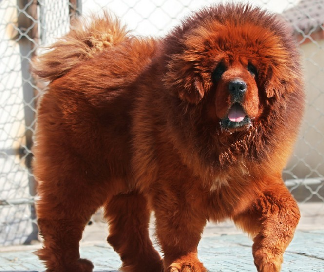 giant red tibetan mastiff - photo #1