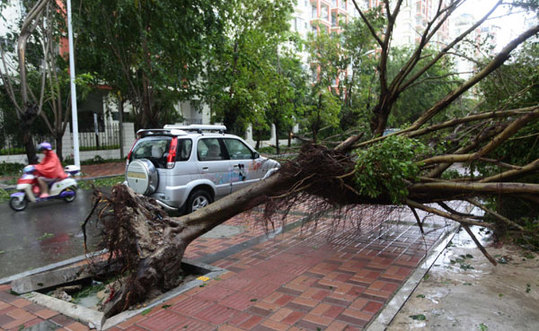 A tree is brought down by strong gales in Sanya, Hainan province as Typhoon Son-Tinh brushed into the region on Oct 28, 2012. [Xinhua]