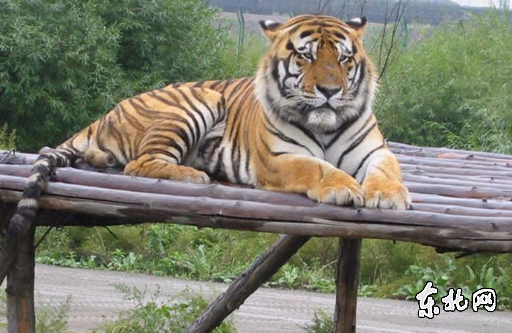 Siberian tiger [File photo]