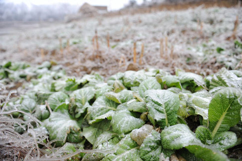 Icy vegetables are seen in Liupanshui city, Southwest China's Guizhou province on Jan 8, 2013. [Xinhua]