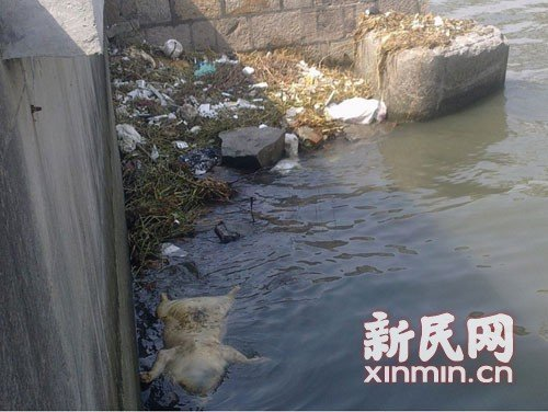 1,200 dead pigs retrieved in Shanghai river.[Photo/Xinmin.cn]