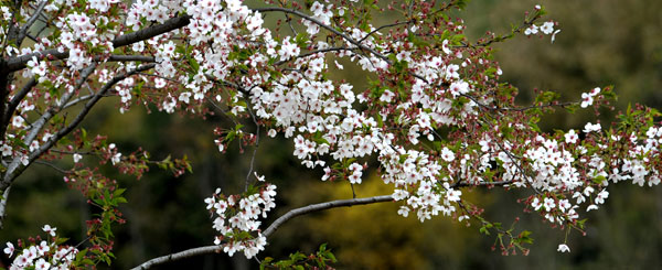 Gucun park is all cherry blossom white china mightylinksfo