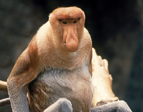 Proboscis Monkey, one of the 'top 20 ugliest animals on the planet' by China.org.cn.
