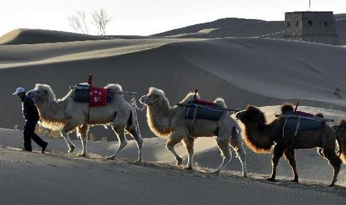 Camels walk in the desert to wait for tourists at the scenic area of Shapotou in Zhongwei City, northwest China's Ningxia Hui Autonomous Region, April 11, 2013.