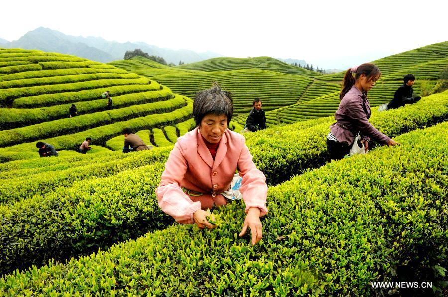 #CHINA-ZHEJIANG-TEA-PICKING (CN)