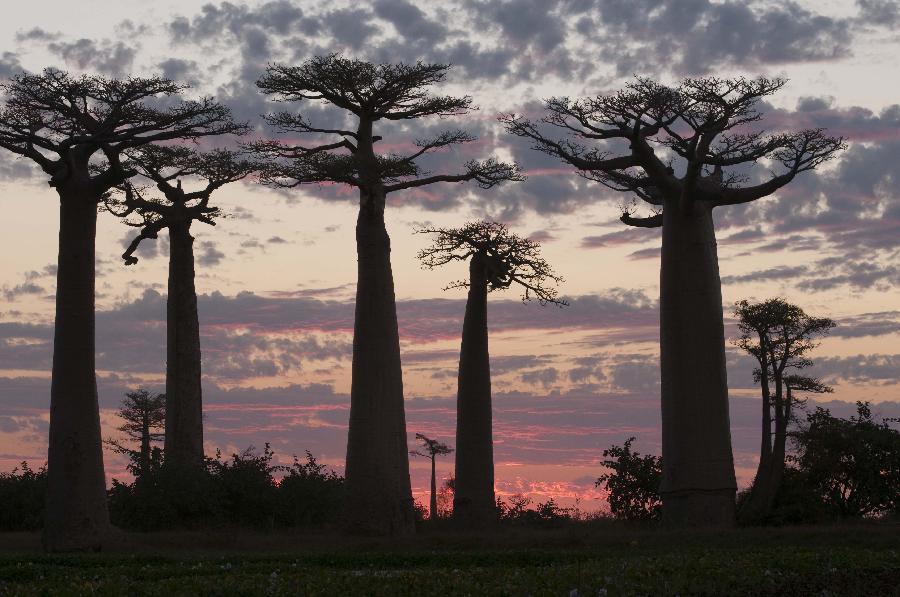 Baobab trees - unique scenery in Madagascar - Xinhua | English.news.cn